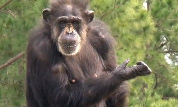 Retired Lab Chimps See The Sky For The First Time [Video]
