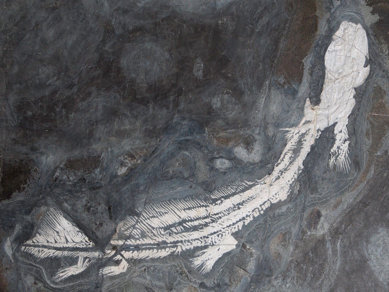 Orthacanthus fossil