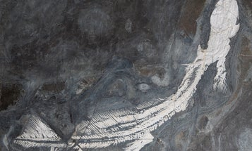 These Ancient Sharks Turned To Cannibalizing Their Young