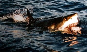 Now On Twitter: More Than 300 Australian Sharks