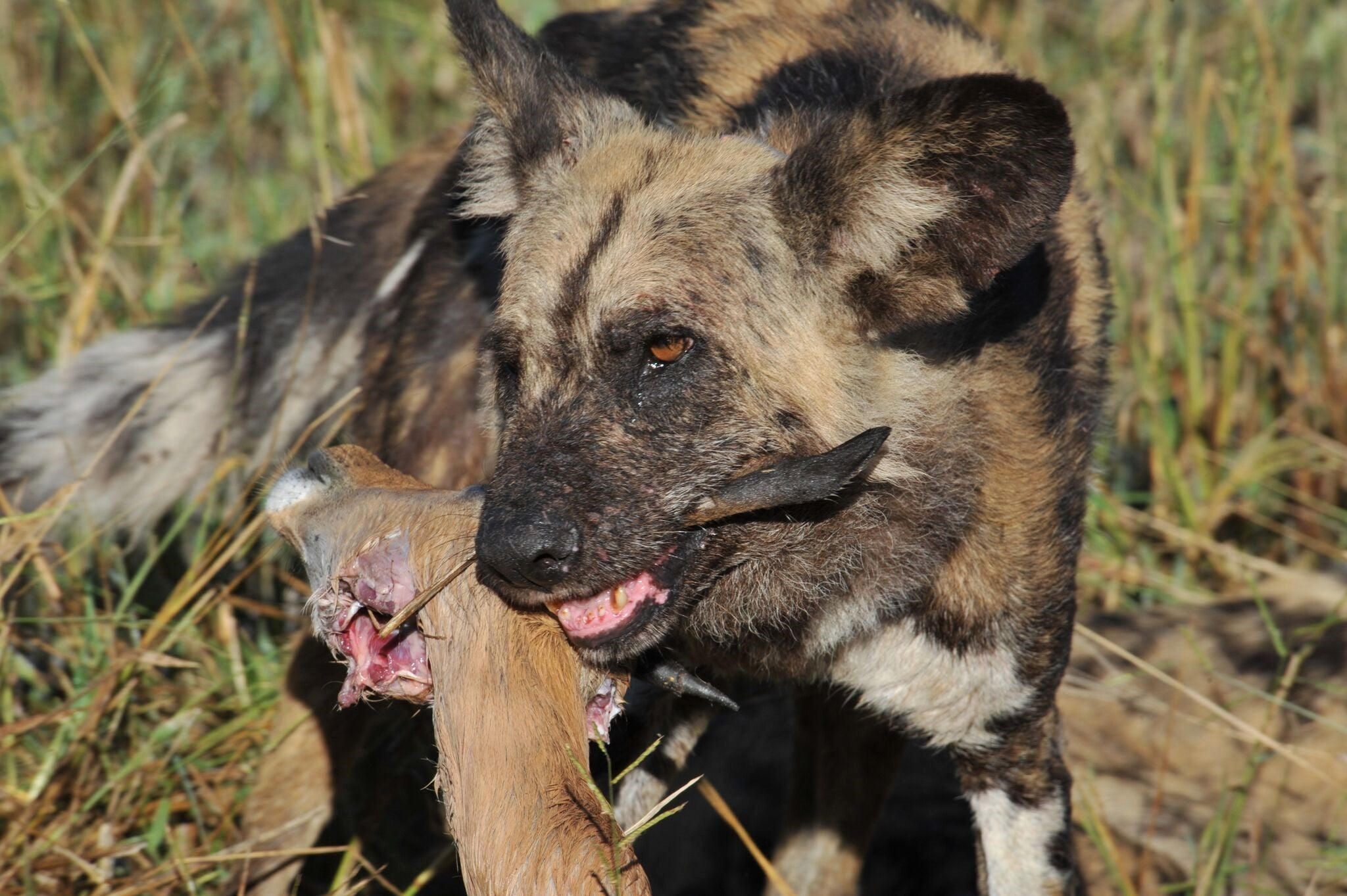 African wild dogs vote with sneezes on important pack issues