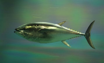 The Next Tuna You Eat Could Have A Mackerel Momma