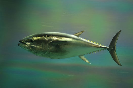 Pacific Bluefin Tuna Population Has Dropped By 96 Percent