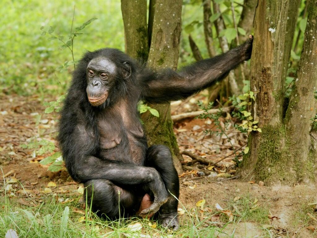 Female bonobo sitting next to tree.