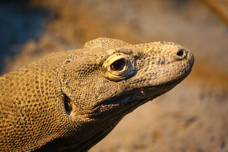 FYI: Does The Komodo Dragon Really Kill With A Bacteria-Filled Bite?