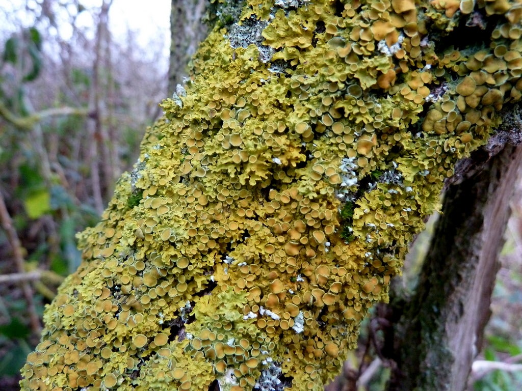 Lichens Can Be Made Of Three Organisms, Not Just Two