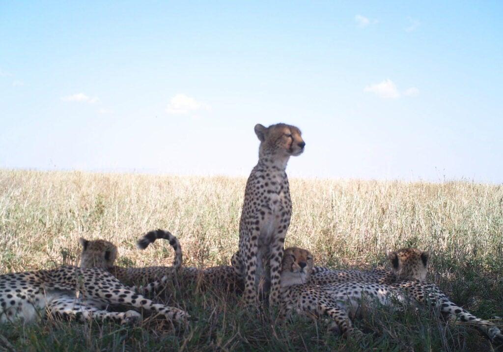 """Cheetah"