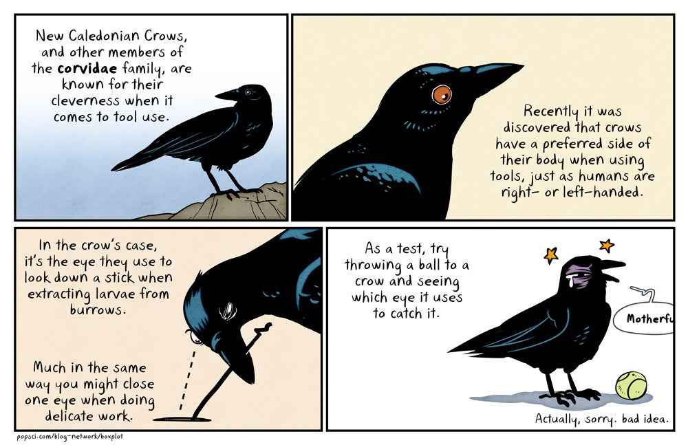 Crows prefer one eye over the other when using tools