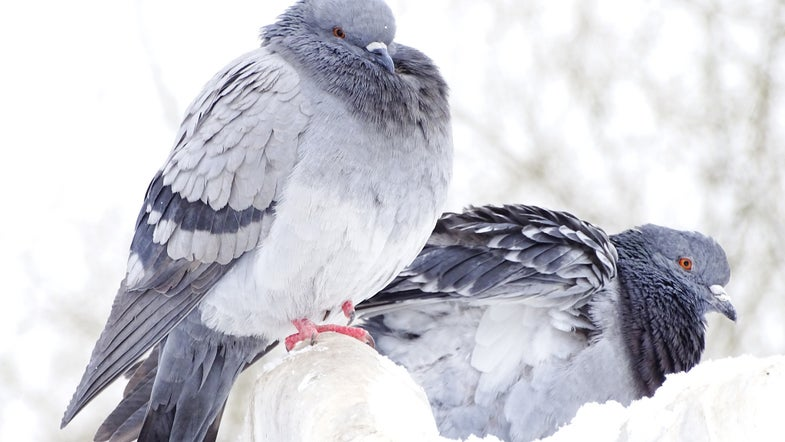 Pigeons Can Read A Little Bit, New Research Shows