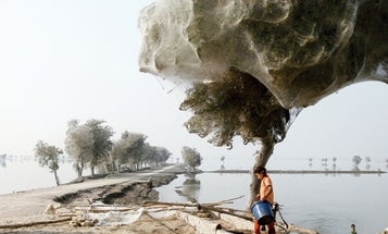 Spiders Fleeing Pakistan's Floodwater Take to the Trees