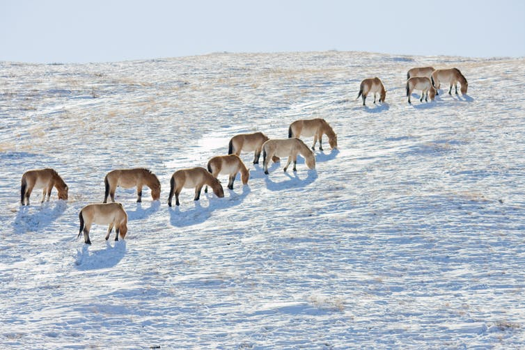 horses in the Mongolian wilderness