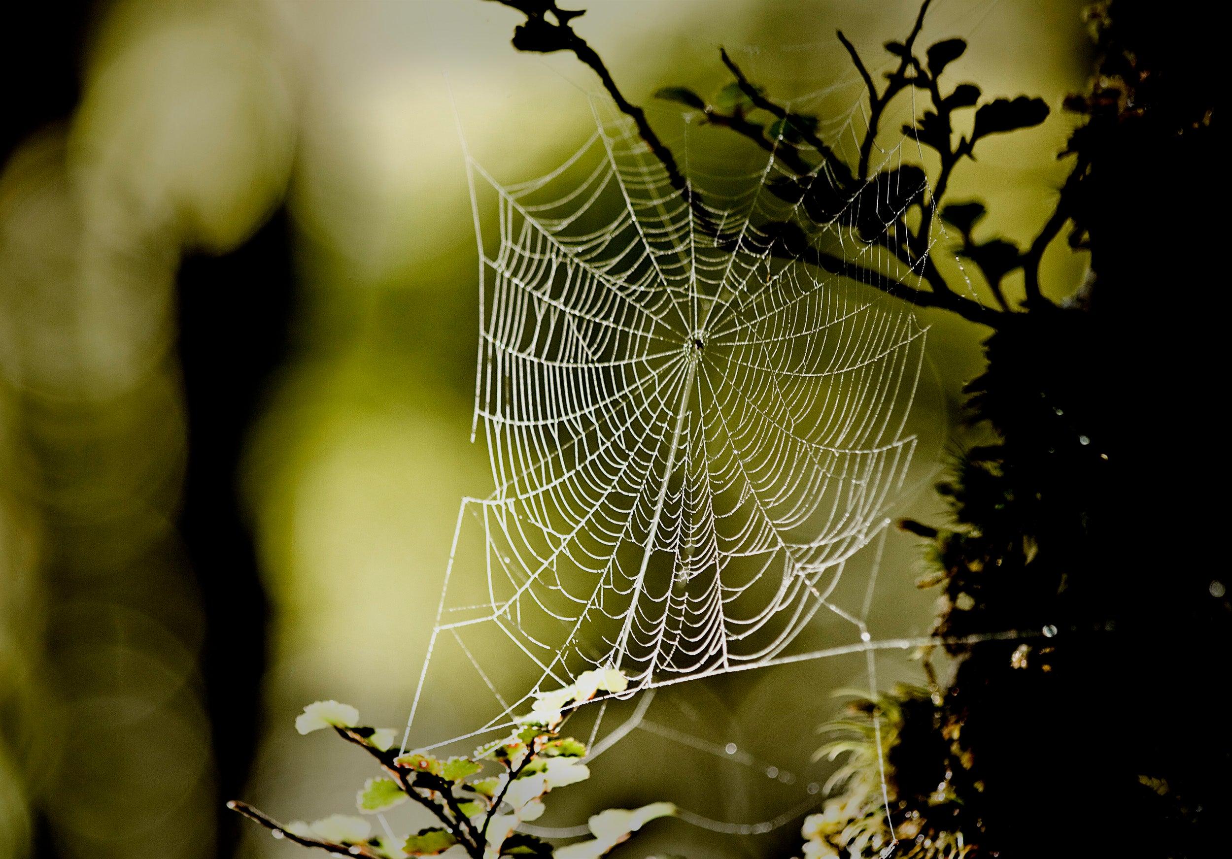 Transgenic E. coli Spin Tough Spider Silk