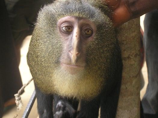 Cercopithecus lomamiensis, Lesula Monkey