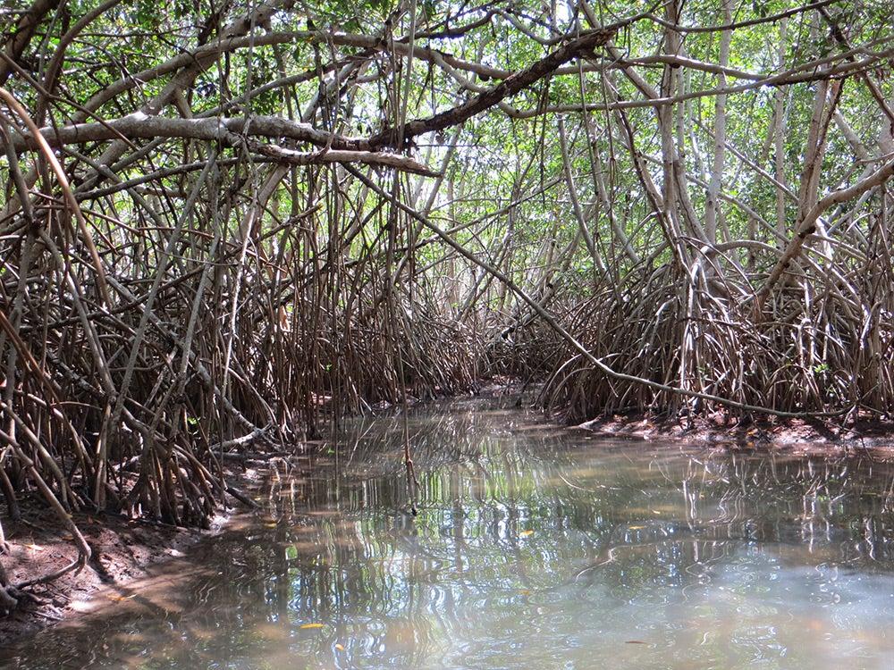 Saltwater mangrove forest