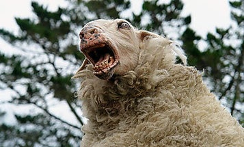 In Safety Study, Sheep on Meth Are Shocked With Tasers