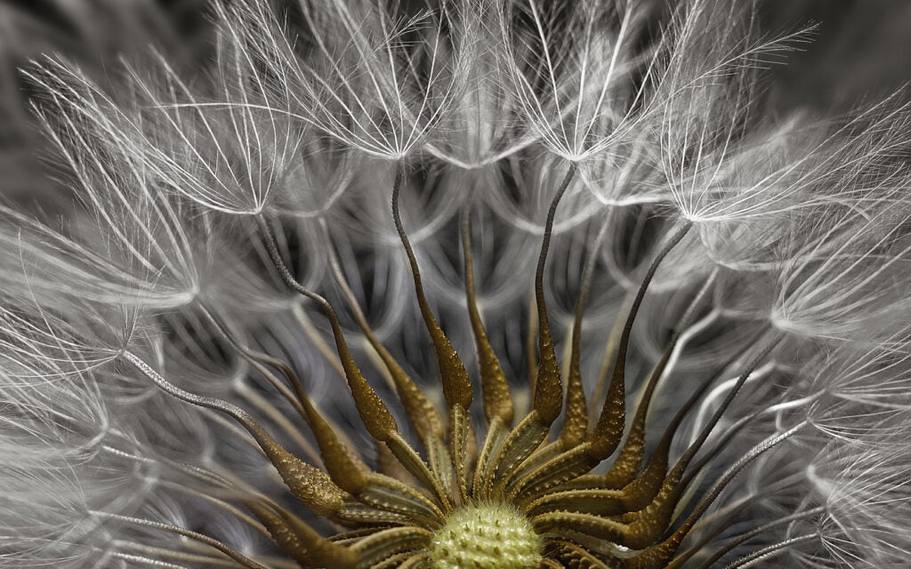 groundsel flower