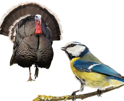 Ask Anything: Why Do Some Birds Chirp While Others Gobble?
