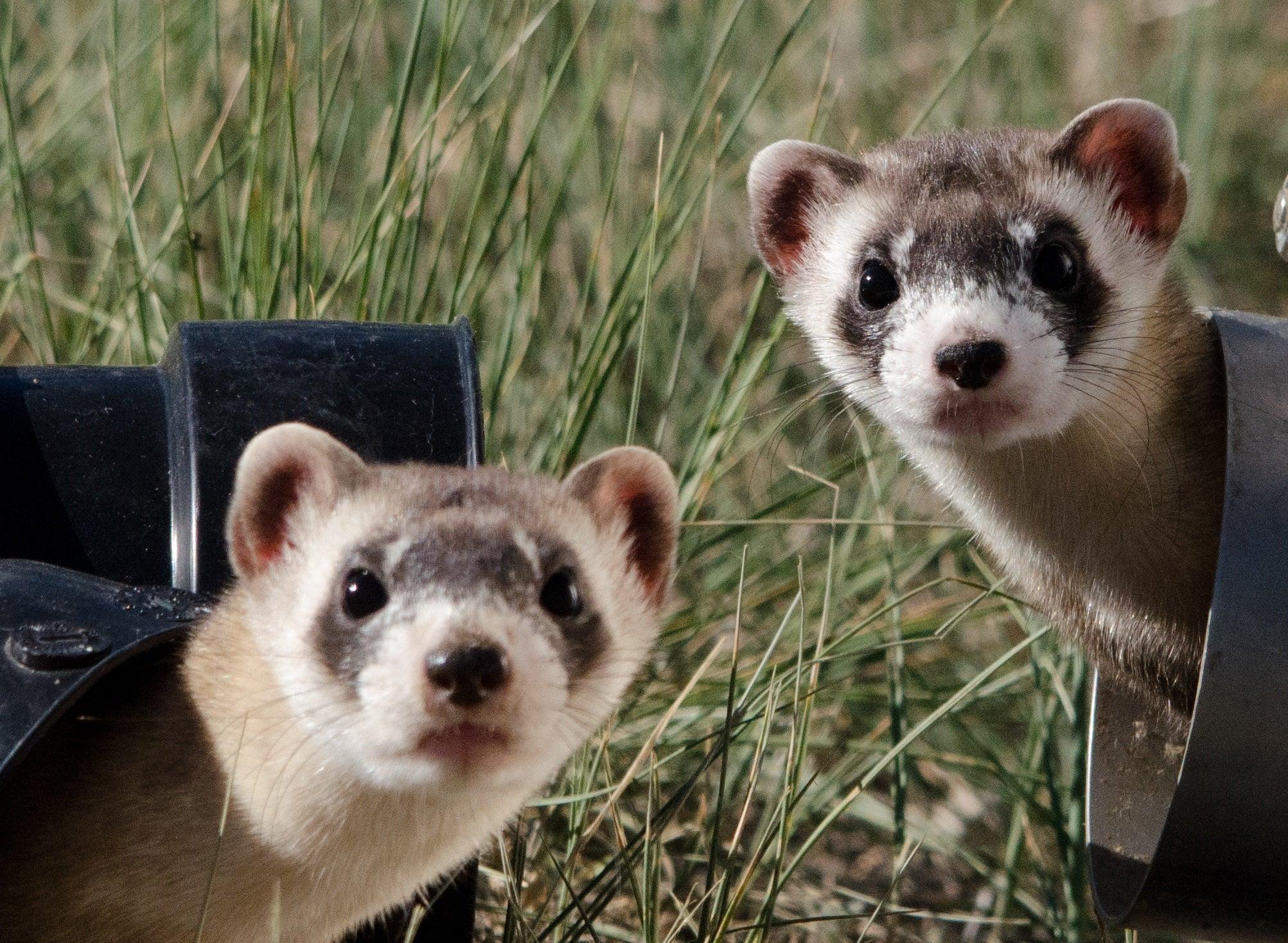 Endangered black-footed ferrets.