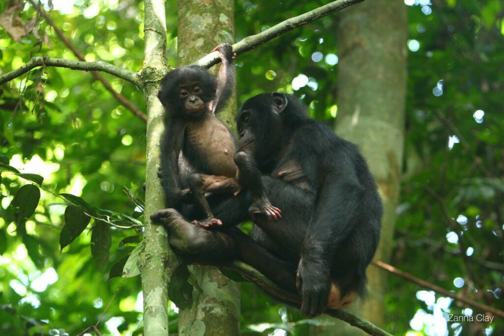 Mother bonobo and child