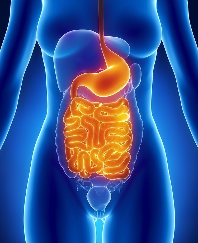 httpswww.popsci.comsitespopsci.comfilesimages201708female_stomach_intestines_litup.jpg