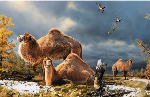 There Used To Be Freaking Camels In The Arctic