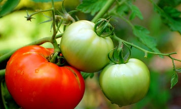 Tomato Genome Decoded, Will Seed Development of Tastier, Fleshier Fruits