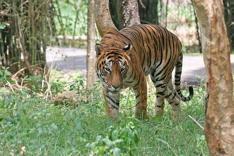 How Do You Feel About The Tigers In Your Neighborhood? A New Study Maps Attitudes