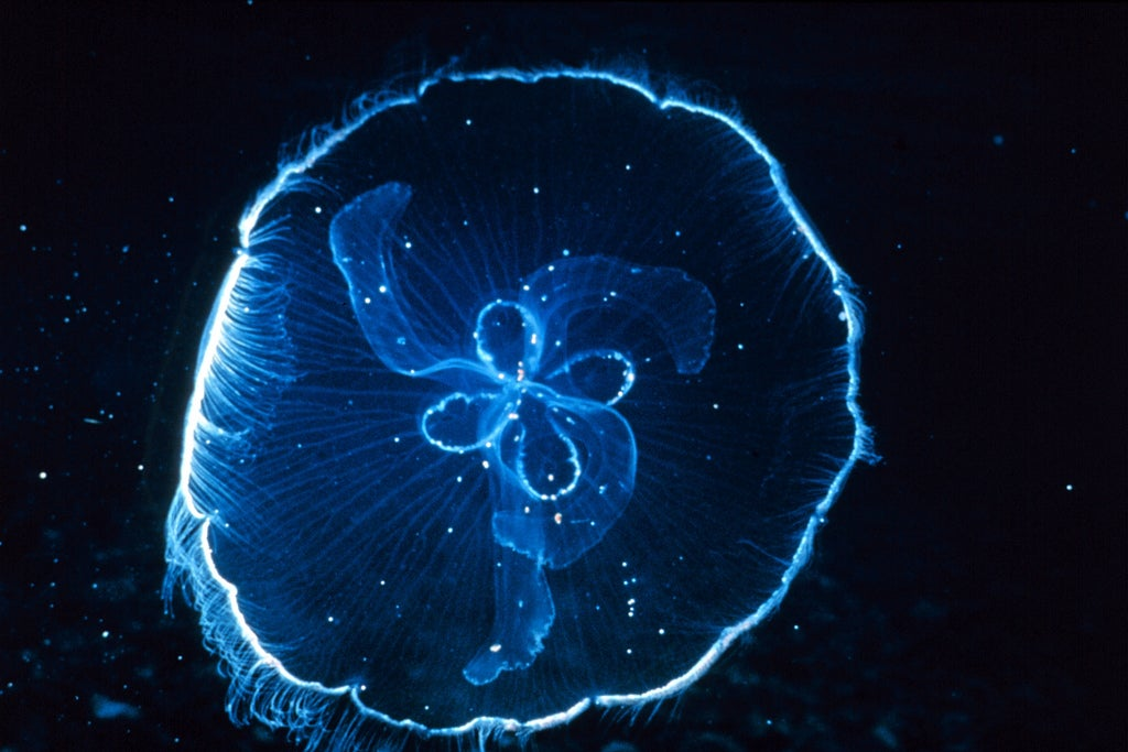 A moon jellyfish.