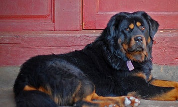 In Tibet, Dogs Breathe Comfortably With Less Oxygen
