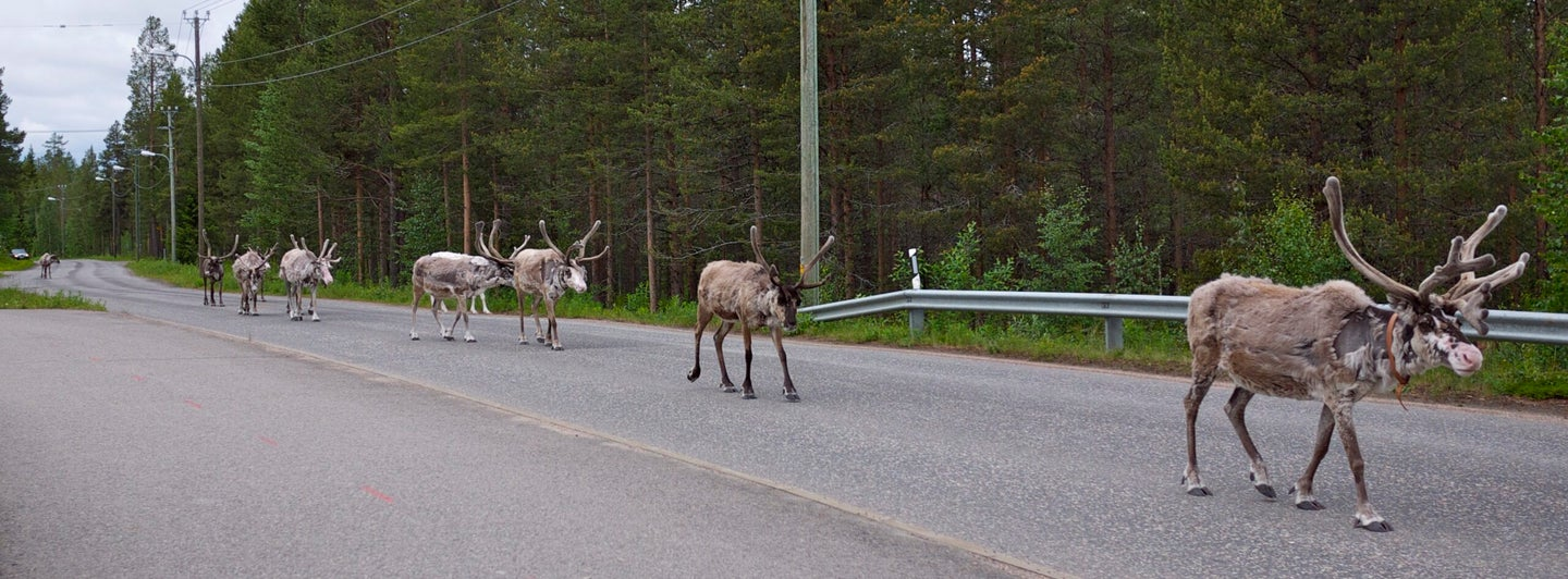 Finland Tries Out New App To Protect Reindeer From Cars