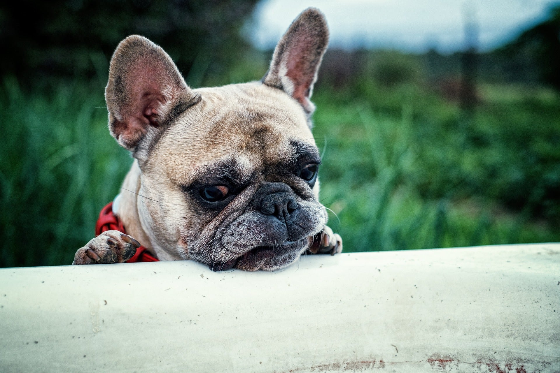 French bulldog looking disturbed