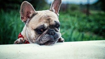 French bulldog looking disturbed