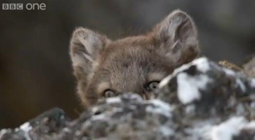 Video: Arctic Fox Cubs Practice Their Pounces