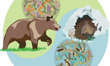 Brown Bear Gut Microbes May Hold The Secret To Being Hefty But Healthy