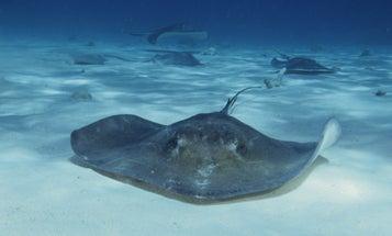 Why Underwater Robots Should Swim Like Stingrays