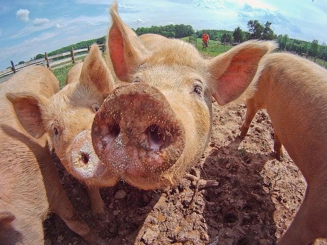 FDA Aims To Reduce Use Of Antibiotics For Fattening Farm Animals