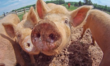 With Gene Editing, Pigs Could Be The Perfect Organ Donor