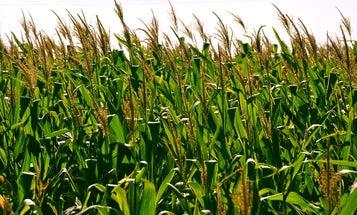 CRISPR-Modified Corn May Soon Be Ready For Market