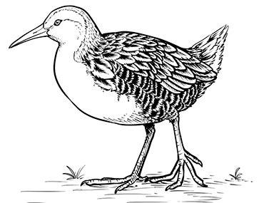 An illustration of a flightless rail