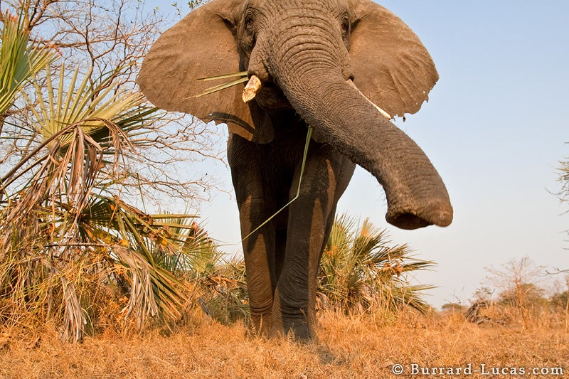 Debate Swells Over EU's Plan To Allow Some Ivory Trade