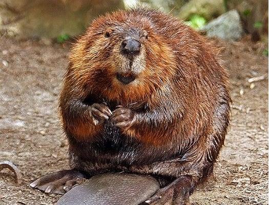 The Odd Way Beavers Impact Climate Change