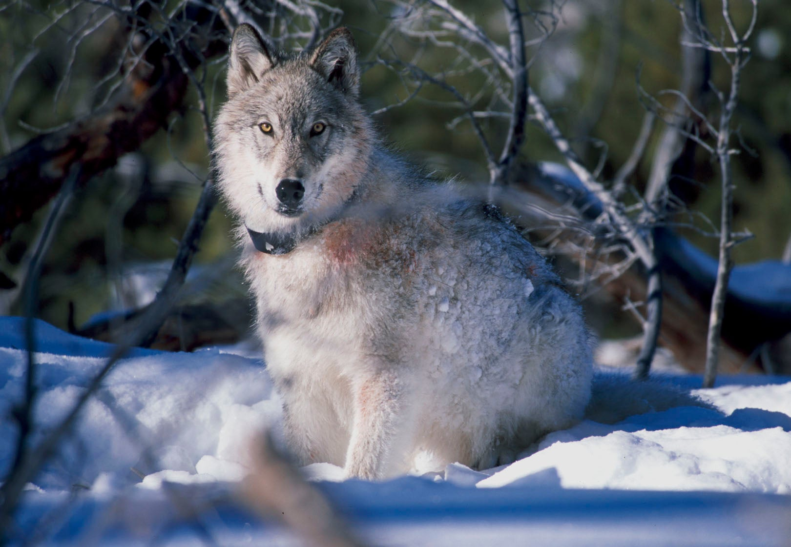 Has The Reintroduction Of Wolves Really Saved Yellowstone?