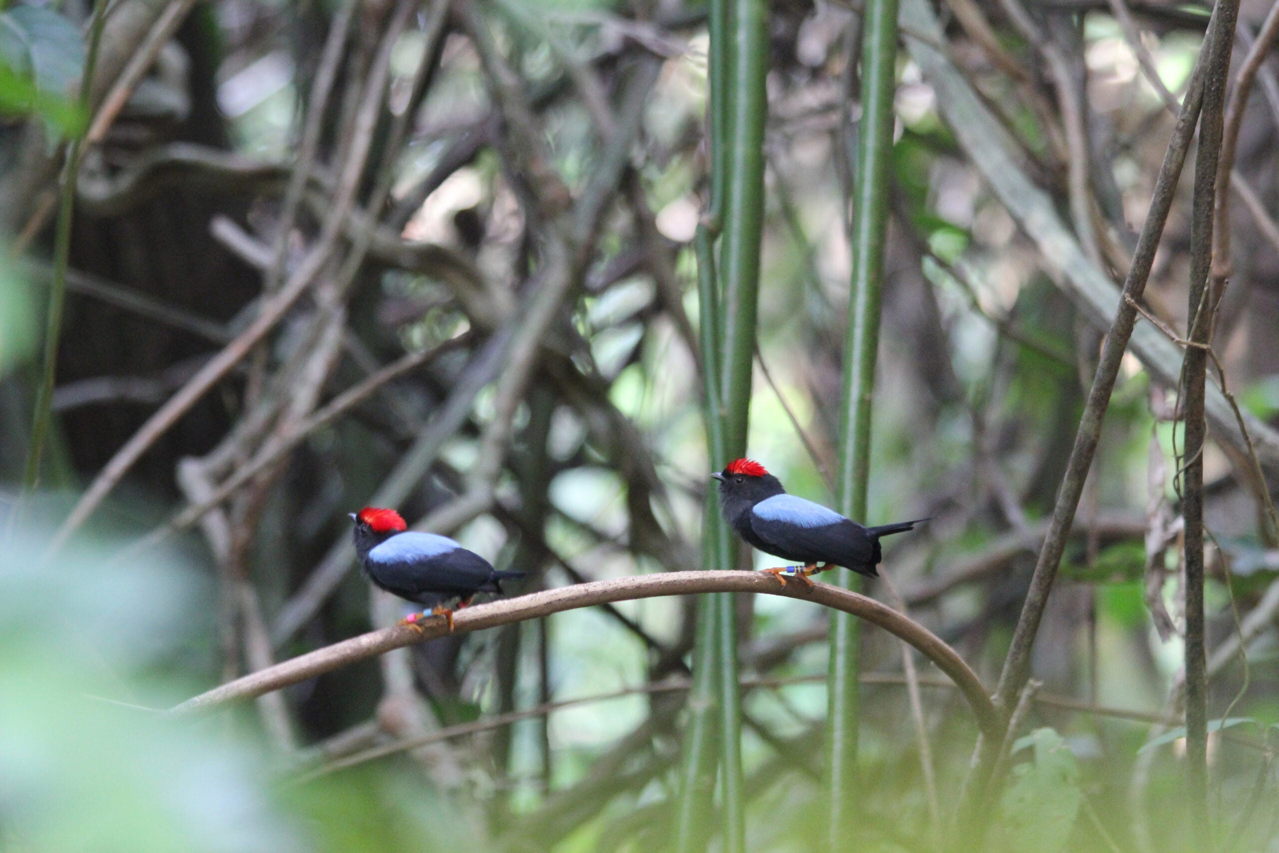 Meet the birds that work as wingmen for other males