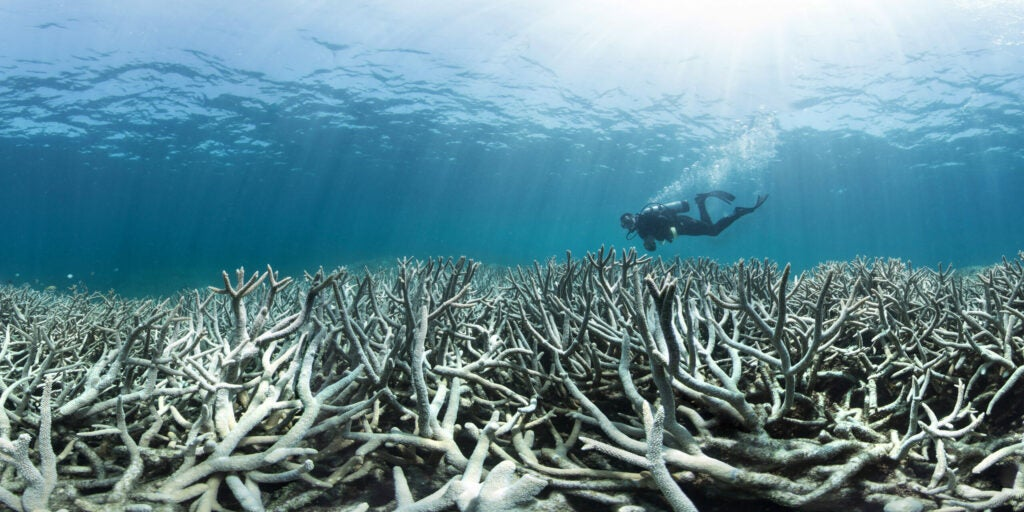a diver above some dead coral
