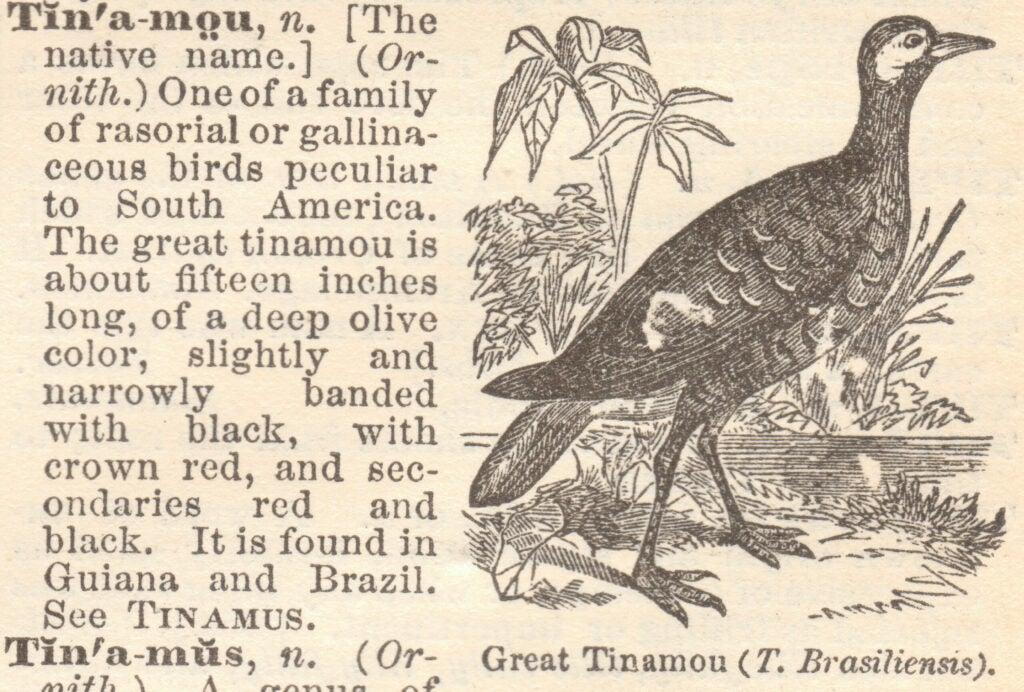 Tinamou