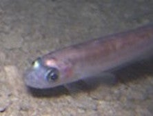 Translucent Fish Found Alive Deep Under Antarctic Ice