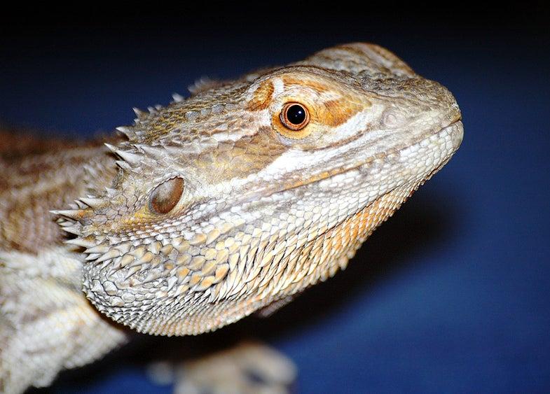 Bearded Dragons Blamed For Salmonella Outbreak