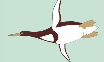 This human-sized penguin isn't even the largest ancient penguin we know about