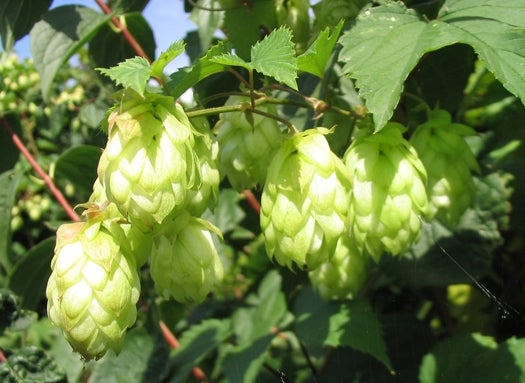 BeerSci: What's The Connection Between Hops And Marijuana?