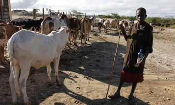 Transgenic Cows Might Help Struggling Farmers In Africa